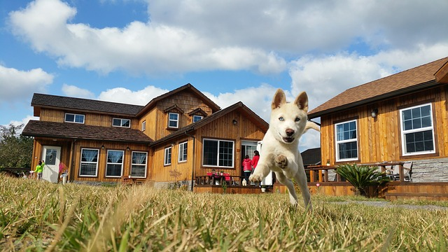Caring for Your Jindo Dog
