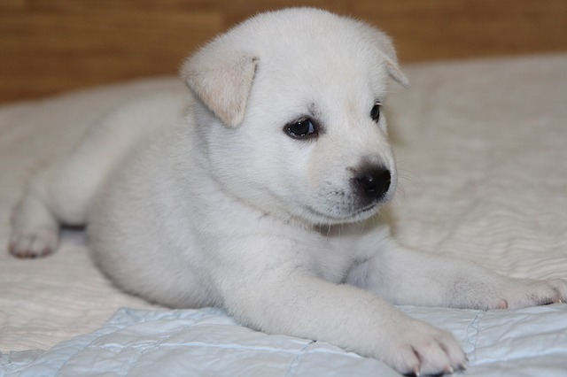 Characteristics of the Jindo Dogs