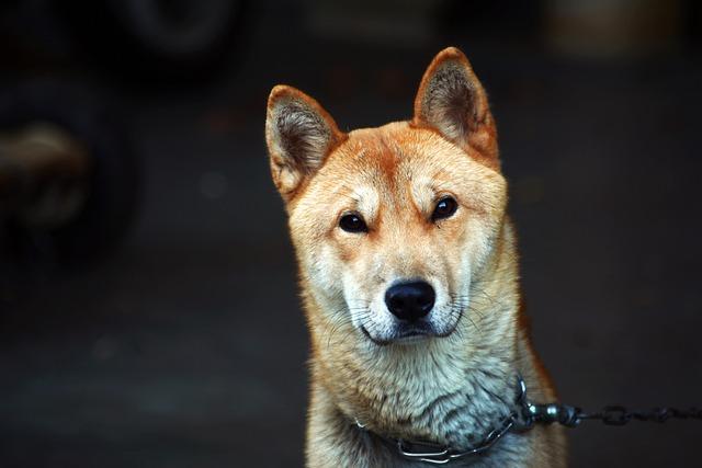 Should you Get a Jindo Dog